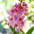 Beautiful pink-magenta orchid flowers — Stock Photo #37118201
