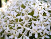 White Flower — Stockfoto