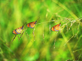Three butterflies on grass. — Photo