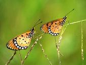 Two butterflies on grass. — Foto de Stock