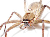 Brown spider. — Stock Photo