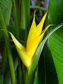 Yellow Heliconia flower — Stock Photo