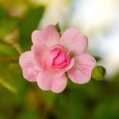 Fairy Rose or Pygmy Rose — Stockfoto