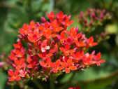 Red Christmas Kalanchoe Flower — Стоковое фото