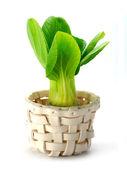 白菜 (大白菜) 上白色孤立 — 图库照片