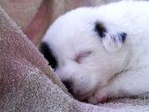 Baby dog sleeping. — Stock Photo