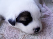 Baby dog sleeping. — Stock Photo