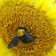 Stock Photo: Bumble Bee and sunflower.
