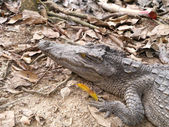 Freshwater Crocodile — Stock Photo