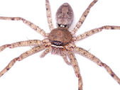 Brown spider on white background. — Stock Photo