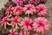 Beautiful colorful foliage on bromeliad plant — Stock Photo