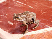 Toad standing on the tiles. — Stock Photo