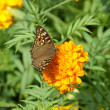 Butterfly on orange marigold or tagetes flowers — Stock Photo #37348221
