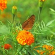 Butterfly on orange marigold or tagetes flowers — Stock Photo #37348267