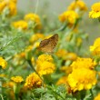 Butterfly on orange marigold or tagetes flowers — Stock Photo