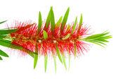 Red bottle brush flower isolated on white background — Stock Photo