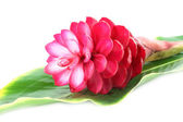 Beautiful tropical red ginger flower on isolate white background — Stock Photo