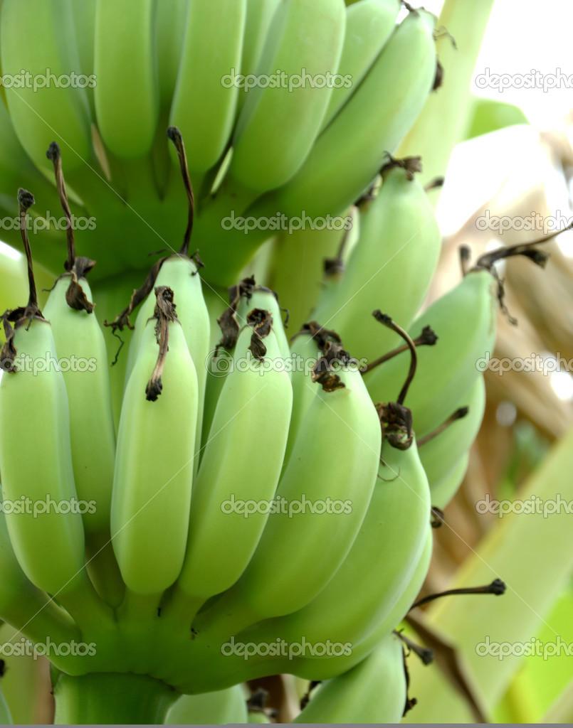 生香蕉树上– 图库图片