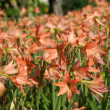 Amaryllis blooms in garden — Stock Photo #37671541