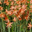 Amaryllis blooms in garden — Stock Photo #37676719