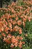 Amaryllis blooms in the garden — Stock Photo