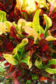 Croton, Variegated Laurel, Garden Croton. — Stock Photo