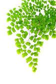 Adiantum fern leaves on white background — Stock Photo