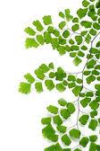 荷叶铁线蕨叶在白色背景上 — 图库照片
