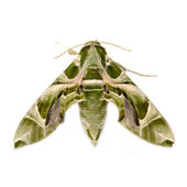 Oleander Hawk moth (Daphnis nerii) isolated on white — Stock Photo