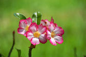 Desert Rose, Impala Lily, Mock Azalea. — Stock Photo