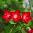 Stock Photo: Desert Rose Flower