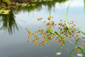 The flower of Cyperus odoratus L. (papyrus) — Stock Photo