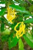 Yellow flower of Dwarf Ylang-Ylang., Scientific name: Cananga fr — Stock Photo