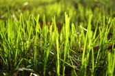 Grass regenerate in the garden. — Stock Photo