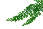 Tuber Sword Fern, Sword Fern. Scientific name: Asplenium thunber — Stock Photo