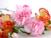 Close up spray carnation flower — Stock Photo