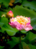 Roseum Plenum Lotus. Nelumbo nucifera Gaertn. — Stock Photo