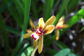 Beautiful orchid flower of Cymbidium finlaysonianum in the fores — Stock Photo
