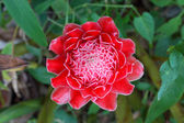 Tropical Red flower of etlingera elatior in the garden. — Stock Photo
