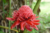Tropical Red flower of etlingera elatior in the garden. — Stock fotografie