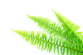 Fern leaves on white background. — Stock Photo