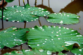Green leaves of Roseum Plenum Lotus. Nelumbo nucifera Gaertn. — Stock Photo