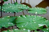 Green leaves of Roseum Plenum Lotus. Nelumbo nucifera Gaertn. — Stock Photo