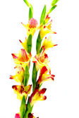 Branch of yellow-red gladiolus on white background. — Photo