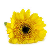 African daisy (gerbera) isolated on white background. — Stock Photo