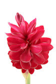 Beautiful tropical red ginger flower on isolate white background — Photo