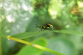 Green insects are mating — Stock Photo