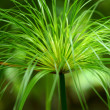 Stock Photo: Egyptian papyrus. (Cyperus papyrus L.)