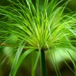 Egyptian papyrus. (Cyperus papyrus L.) — Stock Photo
