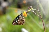Blue glassy tiger butterfly on flower. (Ideopsis simillis persim — Foto Stock